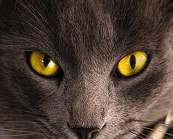 los gatos pueden ver en la oscuridad gracias a una capa de celulas brillante que tienen bajo la retina